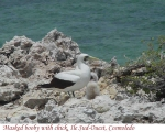 masked-booby-chick